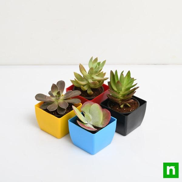 Pack of 4 Beautiful Succulents