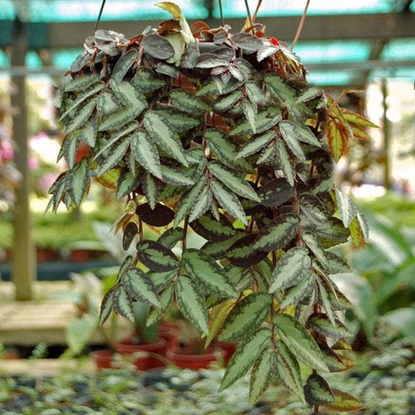 Pellionia repens, Satin creeper (hanging basket) - Plant