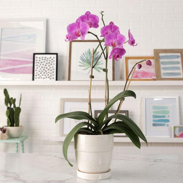 Phalaenopsis Orchid (Any variety, Pink) - Plant