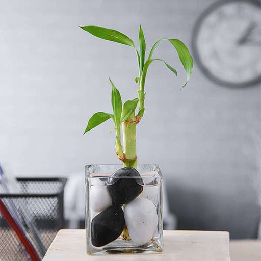 1 Lucky Bamboo Gift Plant - Nurserylive