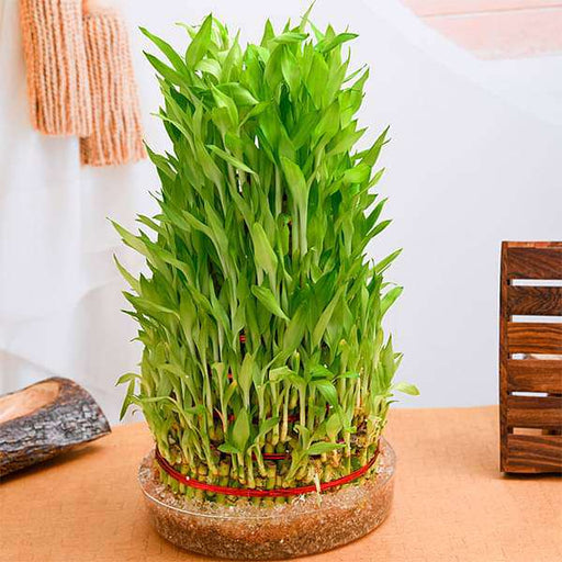 10 Layer Lucky Bamboo Plant  in a Bowl - Nurserylive