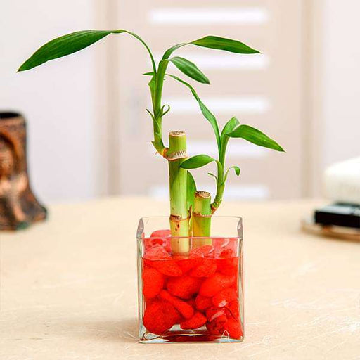 2 Lucky Bamboo Stalks (A Symbol of Love) - Gift Plant - Nurserylive