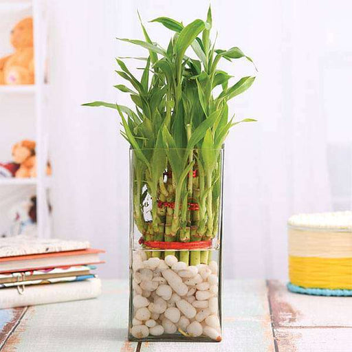 3 Layer Lucky Bamboo in a Glass Vase with Pebbles - Nurserylive