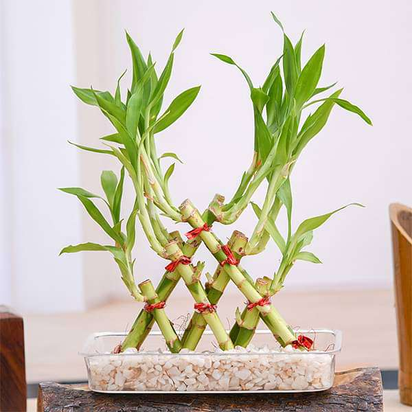 3 Layer Pyramid Lucky Bamboo in a Tray with Pebbles - Nurserylive