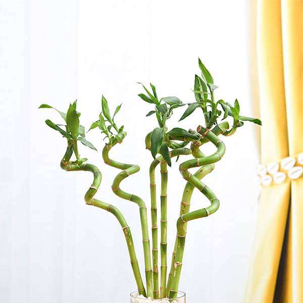 30 cm Spiral Stick Lucky Bamboo Plant - (Pack of 6) - Nurserylive