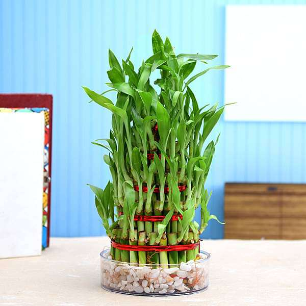 4 Layer Lucky Bamboo Plant in a Bowl with Pebbles - Nurserylive