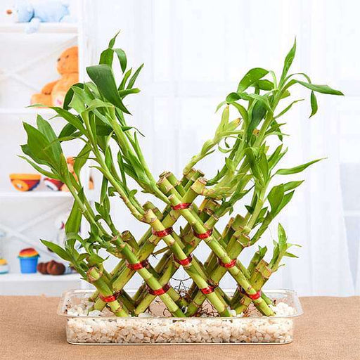 4 Layer Pyramid Lucky Bamboo in a Tray with Pebbles - Nurserylive