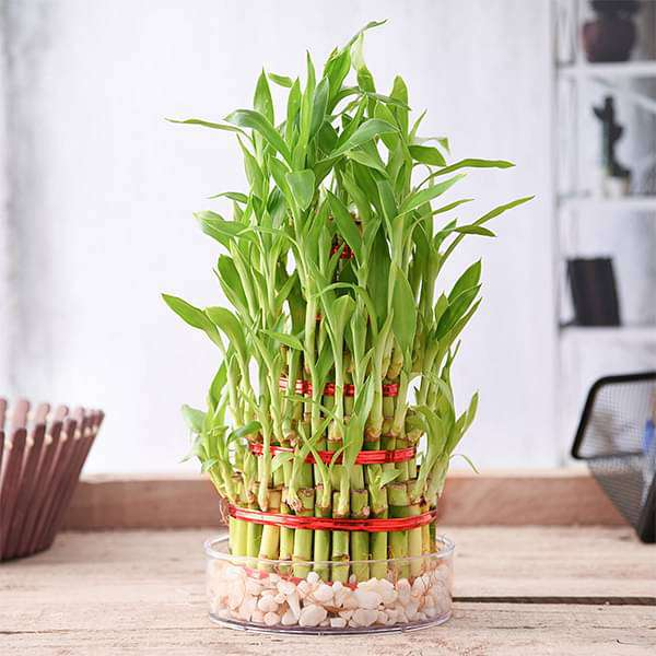 5 Layer Lucky Bamboo Plant in a Bowl with Pebbles - Nurserylive
