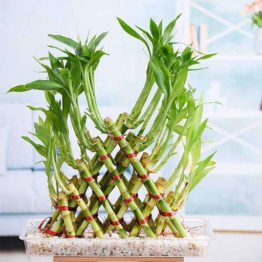 5 Layer Pyramid Lucky Bamboo in a Tray with Pebbles - Nurserylive