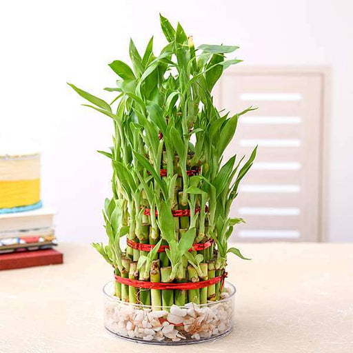7 Layer Lucky Bamboo Plant in a Bowl with Pebbles - Nurserylive