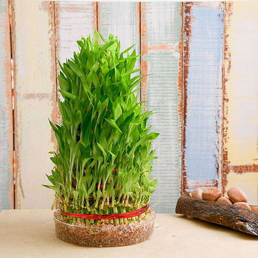 8 Layer Lucky Bamboo Plant in a Bowl - Nurserylive
