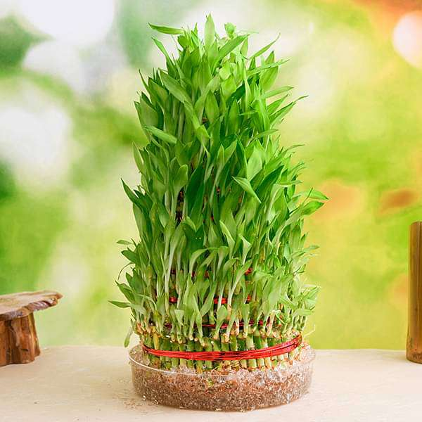 9 Layer Lucky Bamboo Plant in a Bowl - Nurserylive