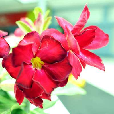 Adenium Plant, Desert Rose (Red Double) - Plant - Nurserylive