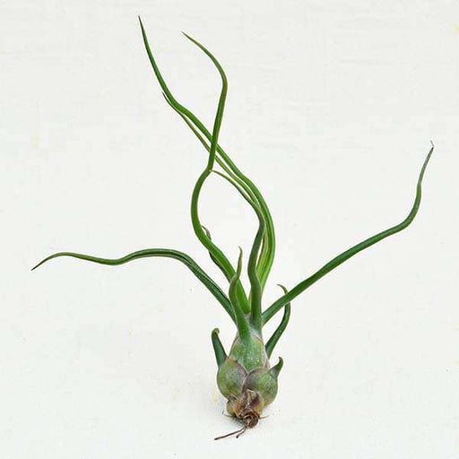 Air Plant, Tillandsia bulbosa - Plant - Nurserylive