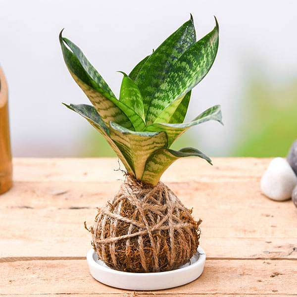 Air Purifier Snake Plant Kokedama with Ceramic Plate - Nurserylive