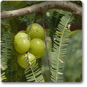 Amla, Tree for Bharani Nakshatra, Aries or Mesh Rashi - Plant - Nurserylive