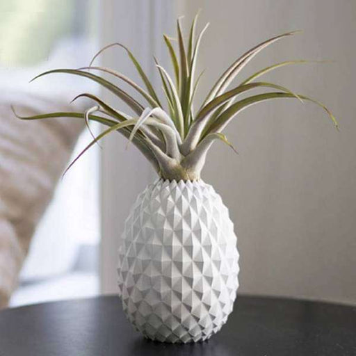 Ananas - Air Plant - Nurserylive