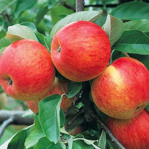 Buy Apple Tree (Grafted) - Plant online from Nurserylive at lowest price.