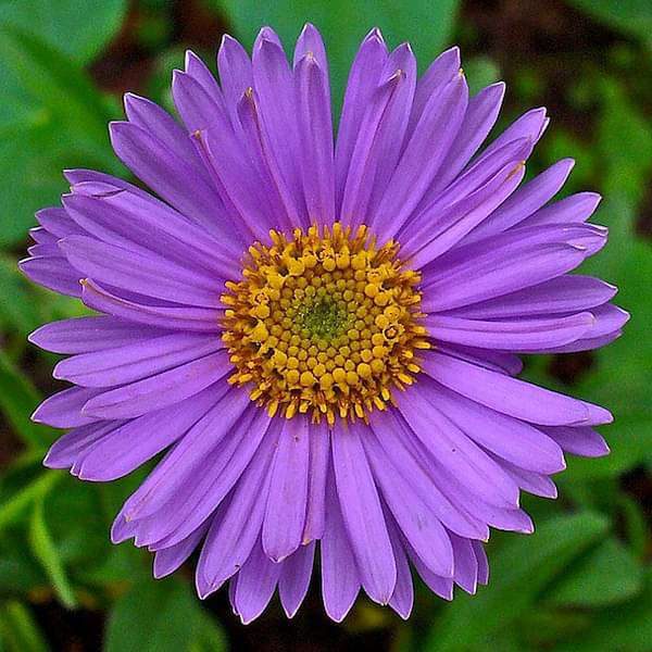 Aster (Any Color) - Plant - Nurserylive