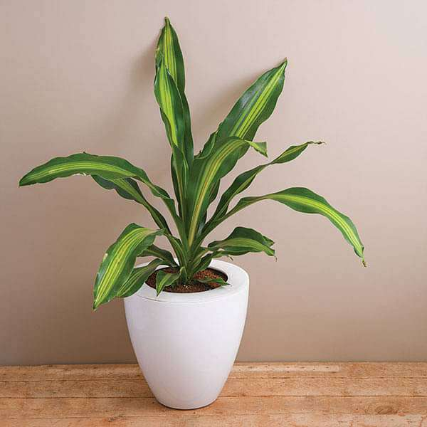 Attractive Dracaena in a Convex pot for Office Decoration - Nurserylive