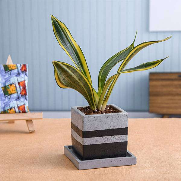Attractive Golden Hahnii Plant in Square Concrete Pot with Plate - Nurserylive
