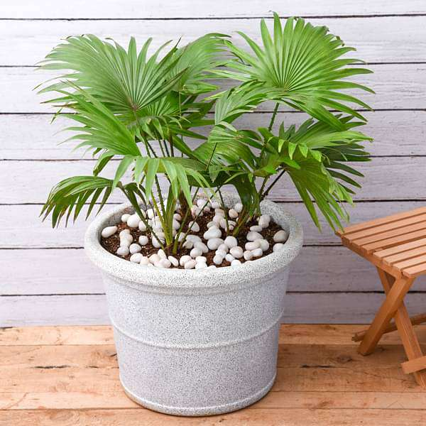 Attractive Table Palm in FRP Planter