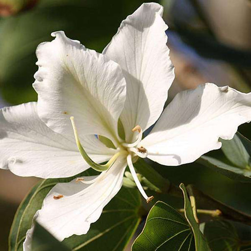 Bauhinia orchid lily (White) - Plant - Nurserylive