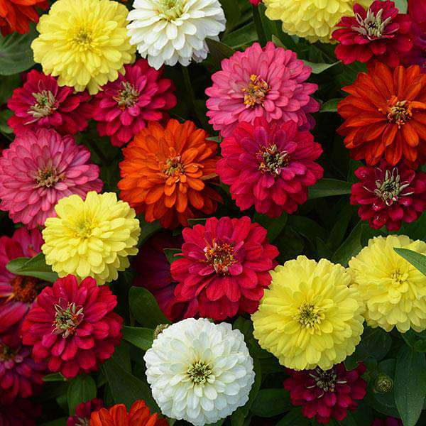 Big Zinnia (Any Color) - Plant - Nurserylive