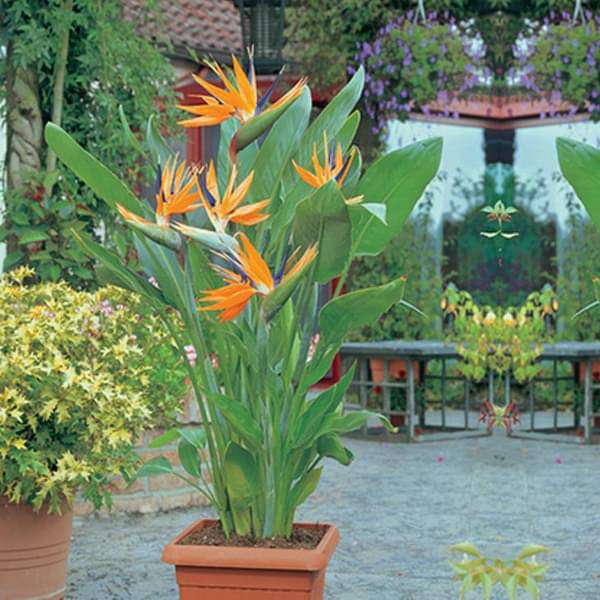 Buy Bird of Paradise - Plant online from Nurserylive at lowest price.