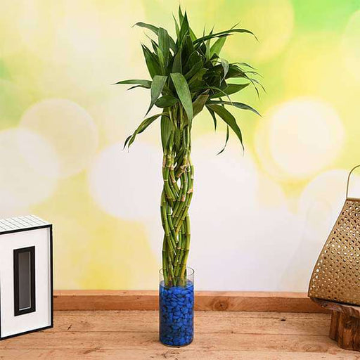 Braided Arrangement Lucky Bamboo in a Glass Vase with Pebbles - Nurserylive