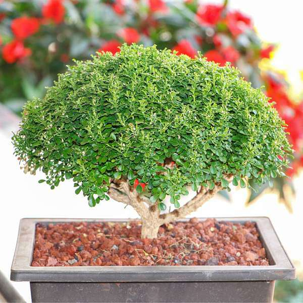 Buxus Bonsai - Plant - Nurserylive