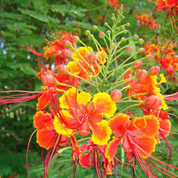 Caesalpinia Pulcherrima, Peacock Flower, Red Bird of Paradise - Plant - Nurserylive