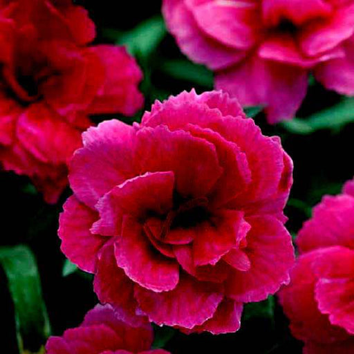 Carnation (Dark Pink) - Plant - Nurserylive