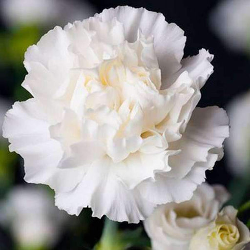 Carnation (White) - Plant - Nurserylive