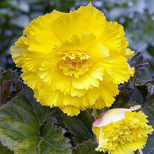 Carnation (Yellow) - Plant - Nurserylive