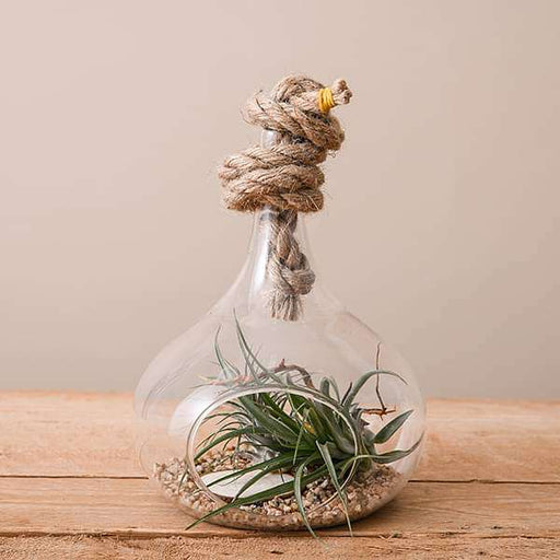 Coastline - Air Plant - Nurserylive