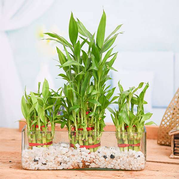 Combo of 2 Layer and 3 Layer Lucky Bamboo Plants in a Glass Vase with Pebbles - Nurserylive