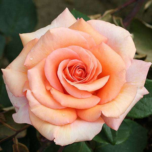 English Rose (Any Color) - Plant - Nurserylive