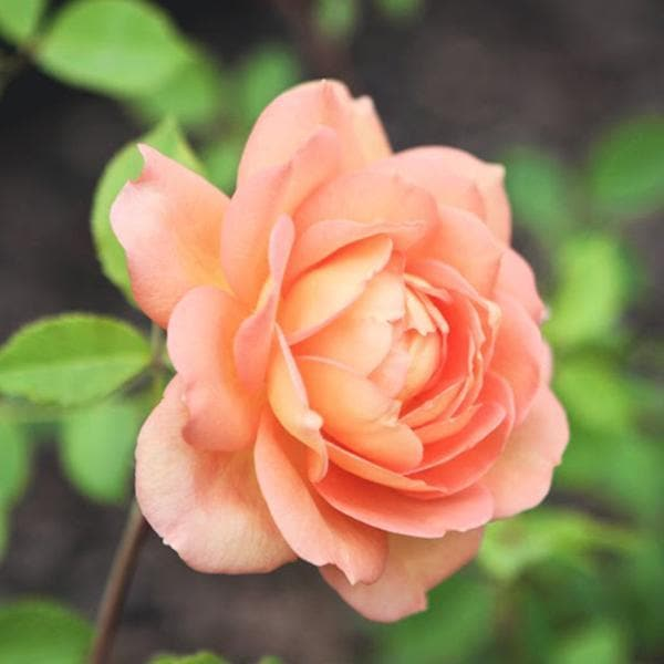 English Rose (Peach) - Plant - Nurserylive
