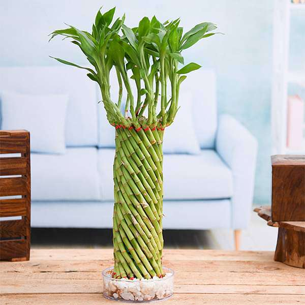 Fengshui Wheel Arrangement Lucky Bamboo in a Bowl with Pebbles - Nurserylive