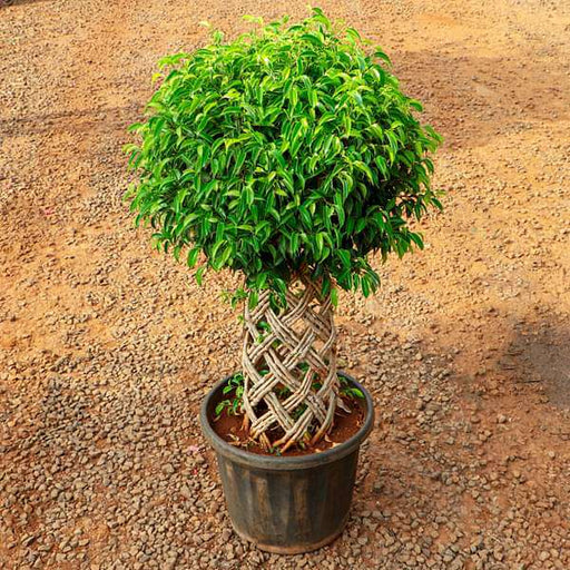 Ficus Bonsai Round Braided Arrangement - Plant - Nurserylive