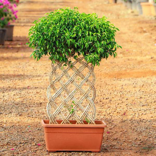Ficus Bonsai Vertical Braided Arrangement - Plant - Nurserylive
