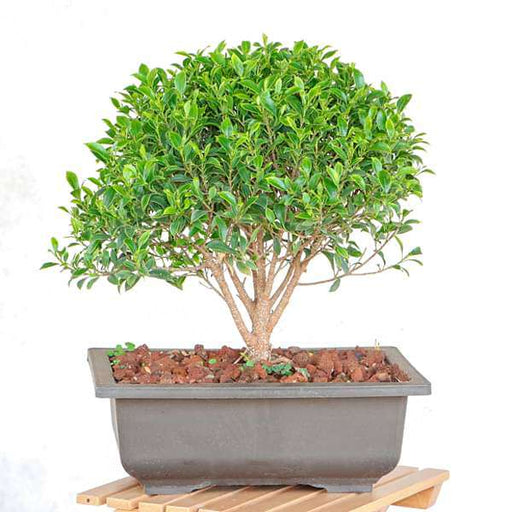 Buy Ficus Microcarpa Bonsai Plant Online From Nurserylive At Lowest Price