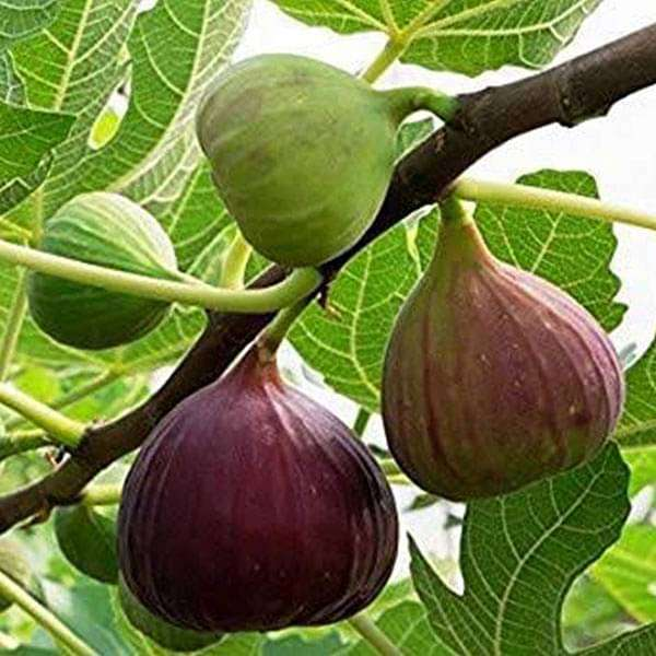 Fig Tree, Anjeer Fruit, Common Fig Fruit - Plant - Nurserylive