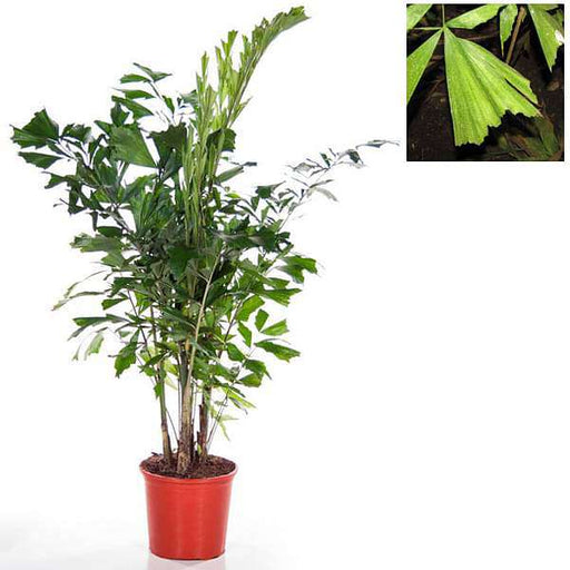 Fishtail Palm, Caryota Palms - Plant - Nurserylive