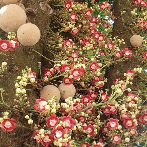 Flower of Puducherry, Cannon-ball - Plant - Nurserylive