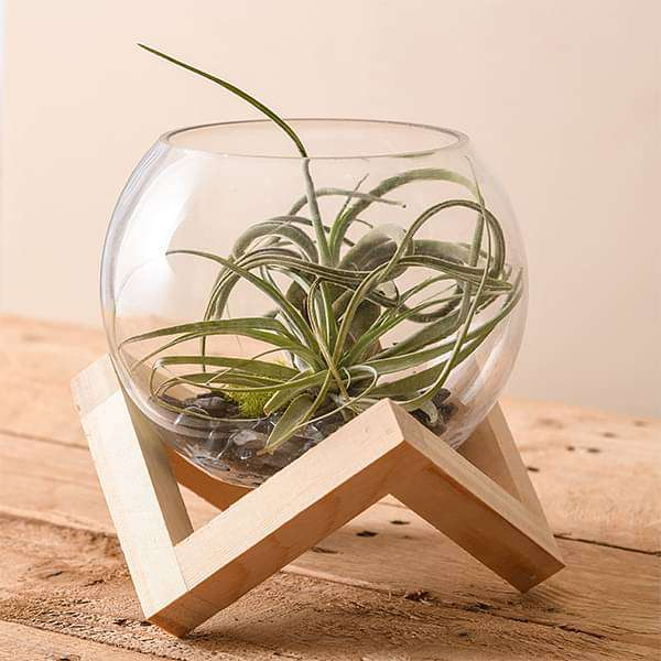 Foundation - Air Plant - Nurserylive