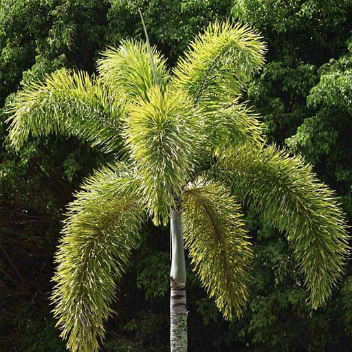 Fox tail palm - Plant - Nurserylive