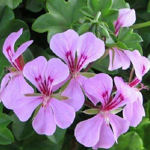 Geranium Ivy, Geranium Creeper (Any Color) - Plant - Nurserylive