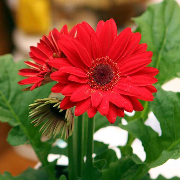 Buy Gerbera (Red) - Plant online from Nurserylive at lowest price.
